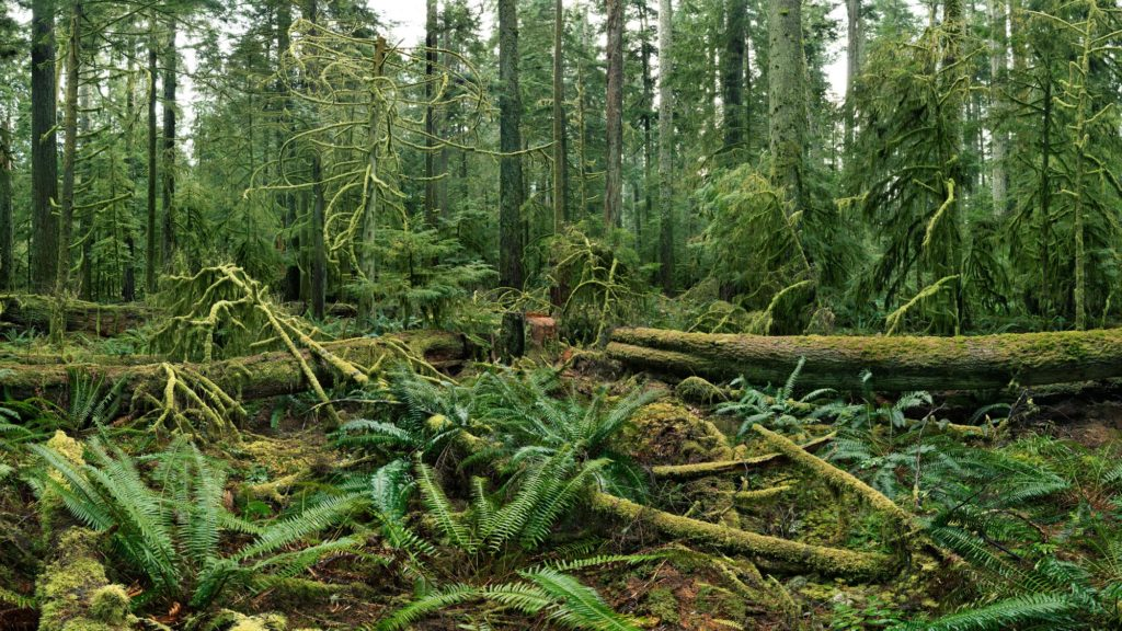 An image of a lush rainforest taken by Edward Burtynsky. There is a moss coloured log on the forest floor and vines growing around it in the foreground of the photo. In the background there are tall, green trees growing. All the tree bark is covered by moss, making the image bright green.